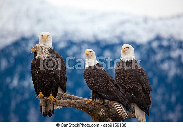 American Bald Eagles - csp9159138