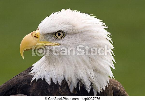 Bald eagle portrait - csp0237976