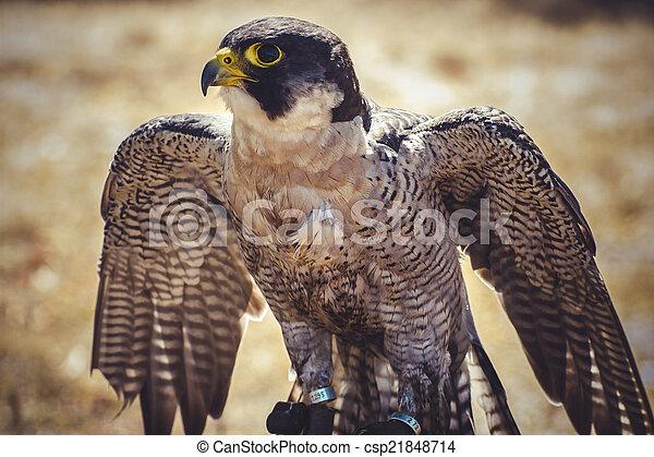 beak, peregrine falcon with open wings , bird of high speed - csp21848714