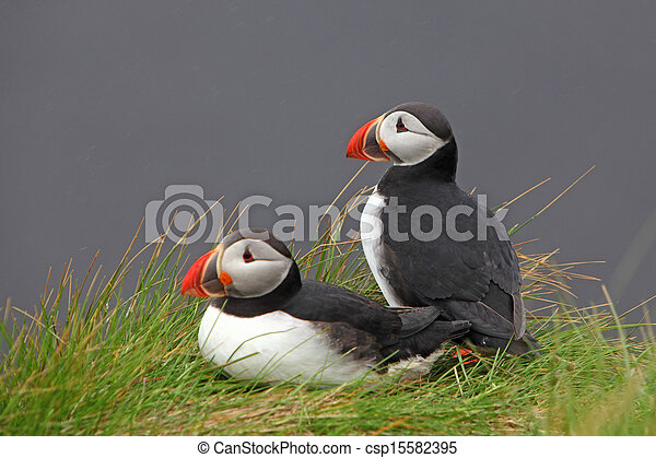 Bird Puffin - csp15582395