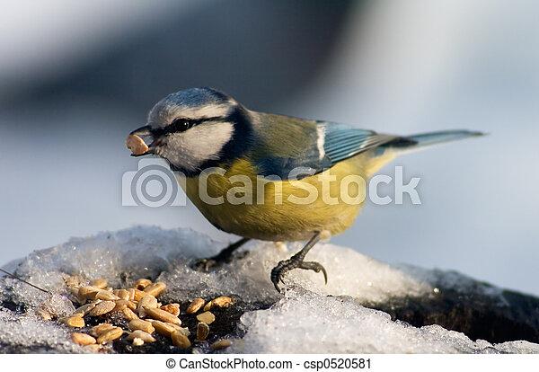 Blue tit bird eating seeds - csp0520581