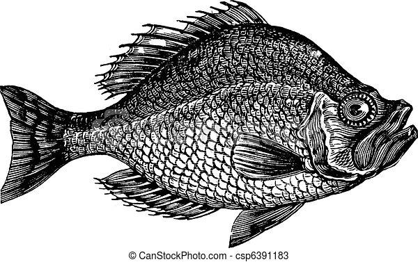 Centrarchus aeneus or rock bass fish vintage engraving - csp6391183