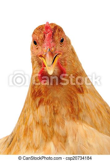 Chicken with Open Beak on White Background - csp20734184