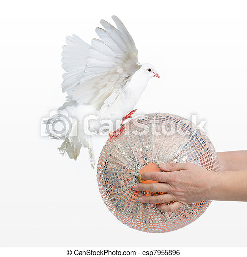 Dove playing with a ball - csp7955896