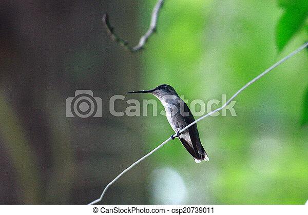 Humming Bird - csp20739011
