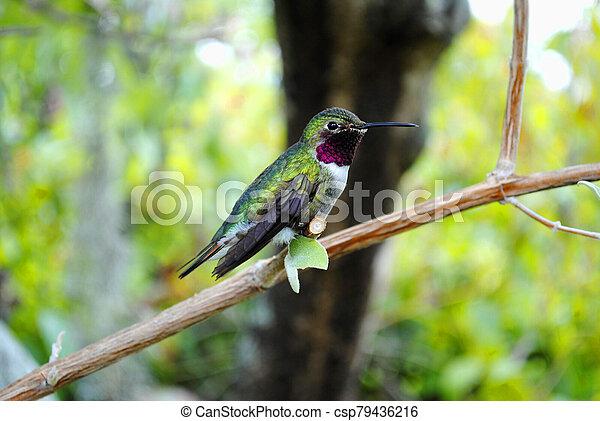 Humming bird - csp79436216
