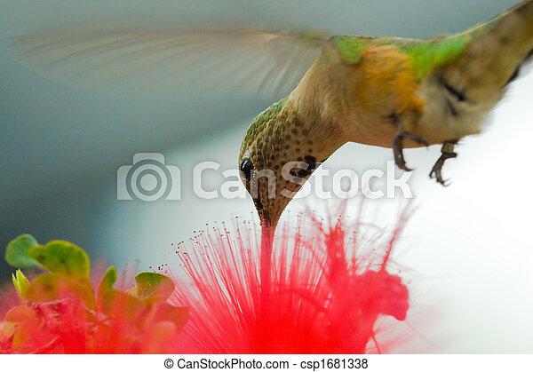 Humming bird - csp1681338