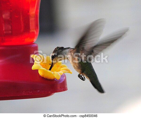 humming bird - csp8450046