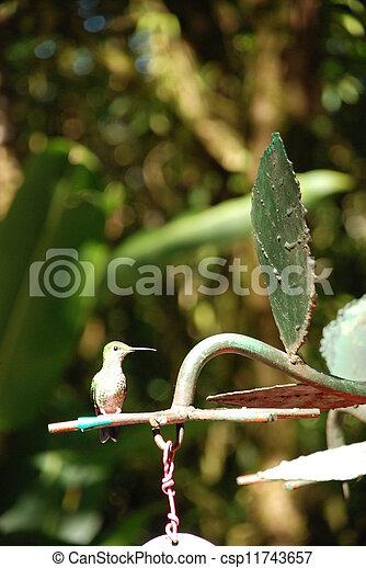 Humming bird - csp11743657