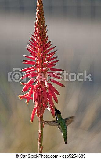 Humming Bird - csp5254683