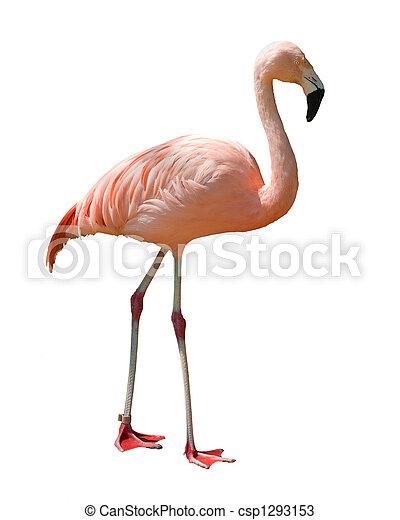 isolated flamingo - csp1293153