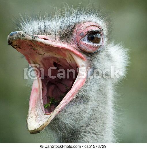 ostrich - csp1578729