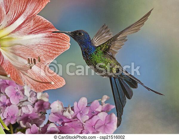 Swallow-tailed Hummingbird - csp21516002
