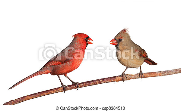 two cardinals with a whole safflower seeds in their beak - csp8384510